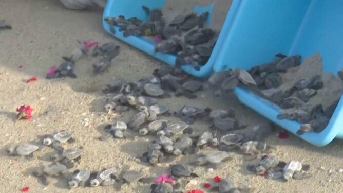 131 żółwi się wylęgło, tysiące następnych czeka na swoją kolej