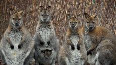We wrocławskim zoo świat ujrzały małe walabie