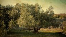 Odmłodzili drzewo oliwne o 400 lat